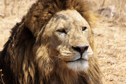 The Lion King - NGorongoro Crater | by Nicolas Bousquet