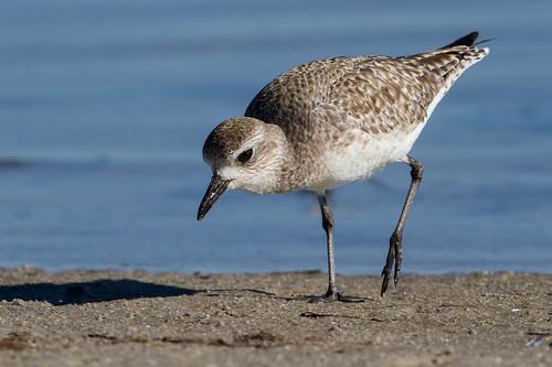 7d 500 aquaticbird bird blackbelliedplover florida fortdesoto peep plover shorebird naturethroughthelens