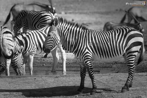 3x2 africa afrika bergzebra equidae equuszebra equuszebrahartmannae etoshanationalpark hartmannbergzebra namibia perissodactyla pferde säugetiere unpaarhufer vertebrata vertebrates wirbeltiere mammals monochrome mountainzebra kunene