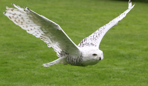 Snowy Owl in Flight 4 | by ahisgett