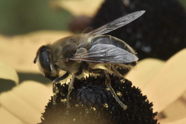 Syrphidae sur une rudbeckia -Syrphidae on a rudbeckia 2