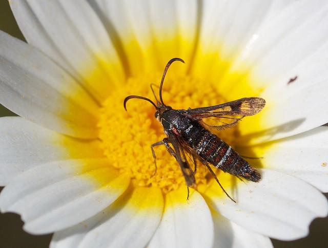 Sesiidae, Pyropteron doryliformis hembra