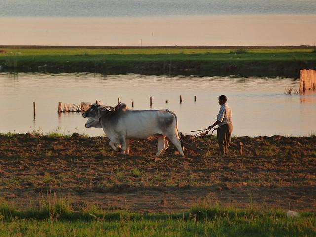 Arando con bueyes en Myanmar
