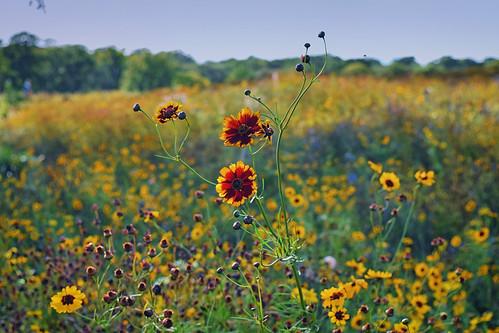 Wild Flowers (25/09/2016)