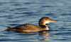 Plongeon huard / Common Loon by anjoudiscus
