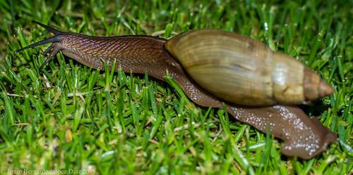 Giant snail.