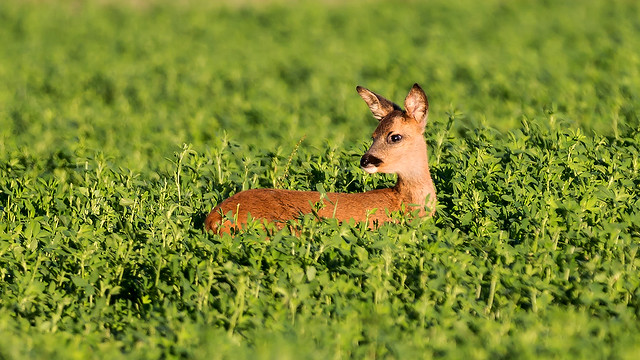 Chevreuil : chevrillard - Phalempin - Roe deer