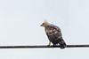 Wallace's hawk-eagle by arnewuensche66