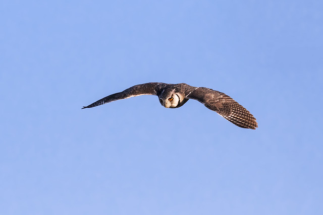 White-Faced Owl flying in a blue sky