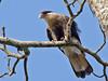 Southern Crested Caracara (Caracara plancus) by Rodrigo Conte