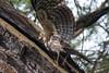 African Harrier-Hawk by Makgobokgobo