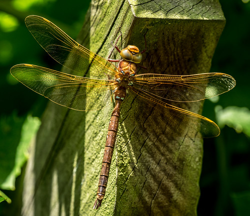 Dragonfly | by Paul Kaye