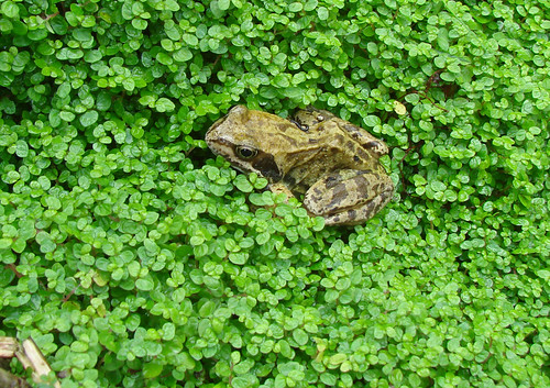 Frog in the Baby's Tears | by http://wildaboutthebritishisles.uk
