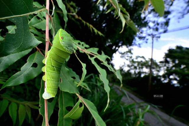 _SEP9778翠鳳蝶(烏鴉鳳蝶)Papilio bianor thrasymedes幼蟲