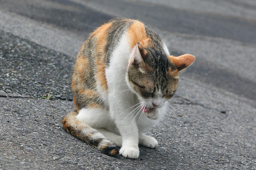 IMG_5300 Calico Japanese cat 縞三毛猫