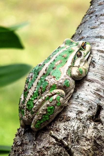 Motorbike Frog - Litoria moorei