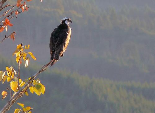 osprey birdsofprey sauvieisland
