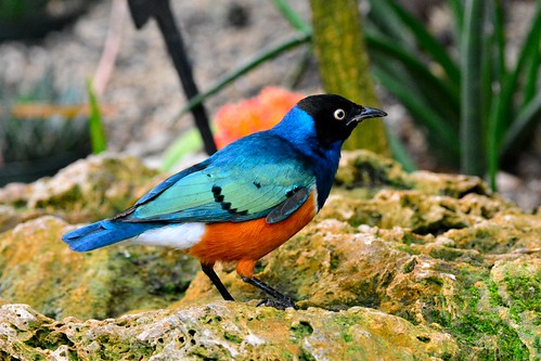 Superb Starling (Lamprotornis superbus) | by R-Gasman