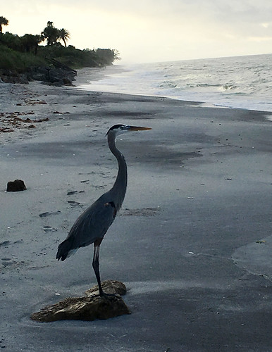 bird beach heron sunrise florida gulfcoast