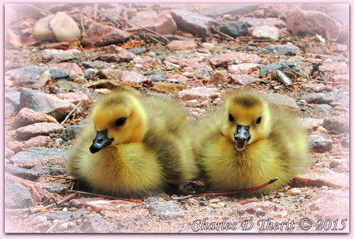 1200s 26mm babies birds canadageese canon chicks colorado coloradosprings cute dayold daysold explore explored f59 geese happy iso80 bokeh geo:lat=3893083779 geo:lon=10489145279 geotagged gleneyrie nature northamerica telephoto wildlife pinkrocks pointandshoot powershot powershots110 s110 unitedstates usa yellow animal best wonderful perfect fabulous great photo pic picture image photograph esplora