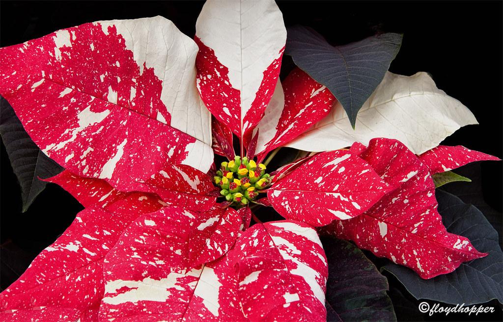 Ice Punch Poinsettia Floyd Hopper Flickr