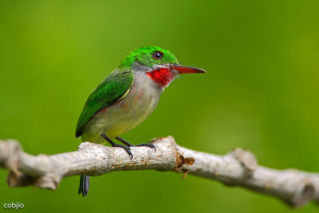 C57A9791- Barrancoli -Todus subulatus - Broad-billed Tody