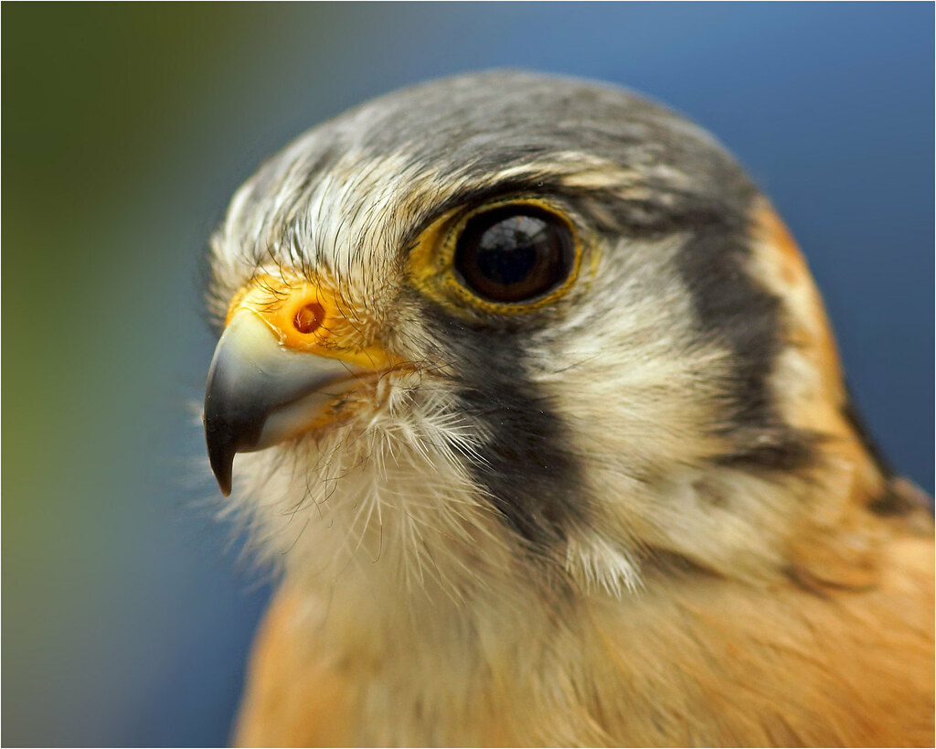 American Kestrel, too Sparrow Hawk