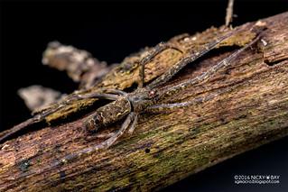 Comb-footed spider (Brunepisinus sp.) - DSC_5204