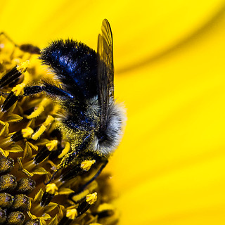 bee & sunflower,macro, Vancouver, BC | by gks18