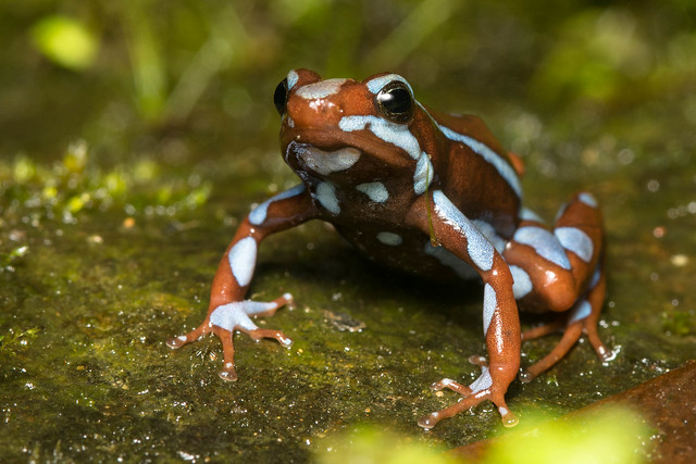 Blue and Red Poison Frog