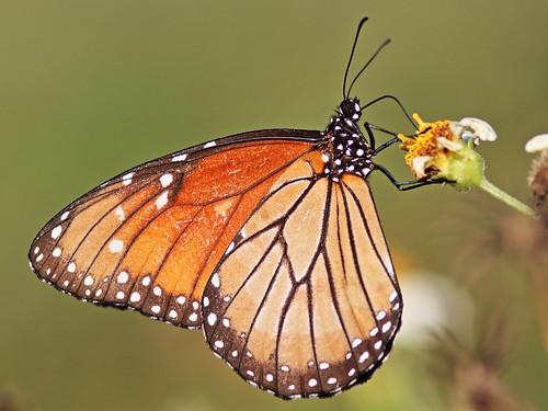 Queen butterfly 20161204