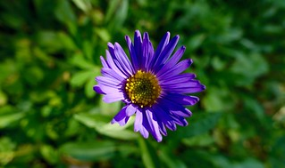 Trailside Aster | by danlmarmot
