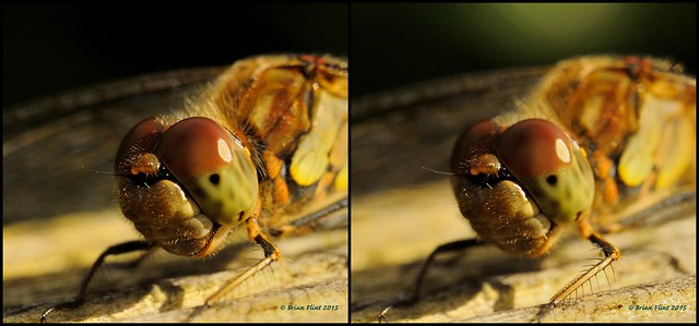 Common darter close-up 3d cross-view