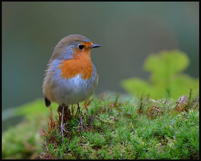 Robin the boss