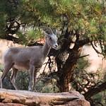 Big Horn Sheep, Zion