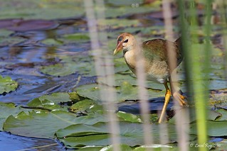 1.03333 Talève violacée (immature) / Porphyrio martinicus / Purple Gallinule | by Laval Roy
