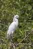 Snowy Egret (Egretta thula) by Ron Winkler nature