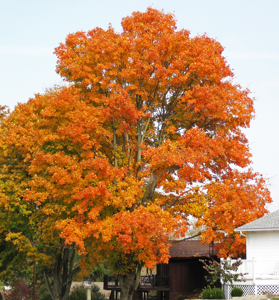 Acer Saccharum Sugar Maple Tree In Fall Colors Hilltop