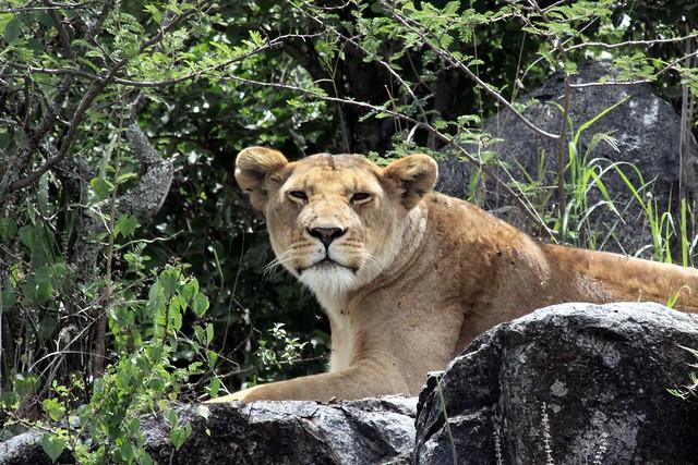 Lionne sur un Kopje - Serengeti