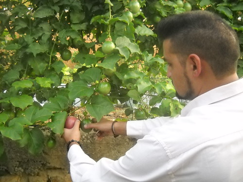 Tamim picking good size Ripe Passion Fruits a Oct 12, 2015 | by toutberryfarms