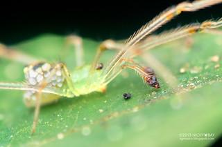 Mirror comb-footed spider (Thwaitesia sp.) - DSC_1805