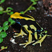 Dendrobates - Photo (c) Yannick Vandenberghe, some rights reserved (CC BY-NC-SA)
