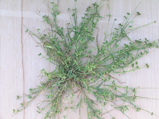 Dactyloctenium radulans plant2