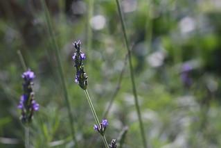 Lavender | by Alexandra E Rust