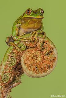 Hylorina sylvatica - Rana esmeralda