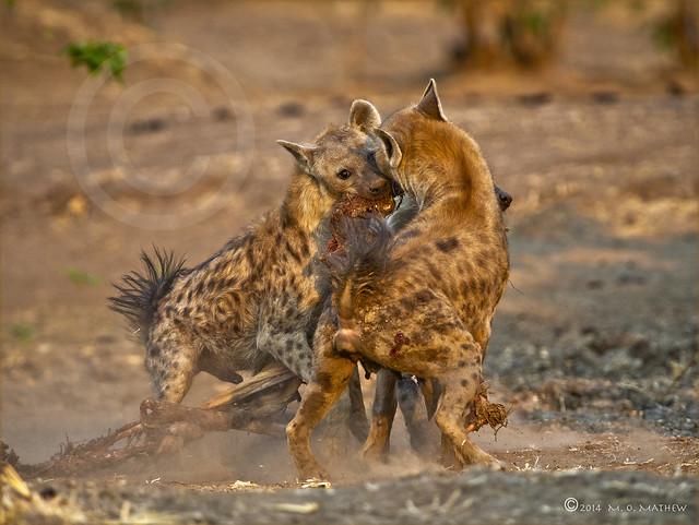 Tug o' War!!...Spotted Hyaena (Crocuta crocuta)