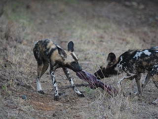 PC091422 African wild dogs | by Joanna P Dale
