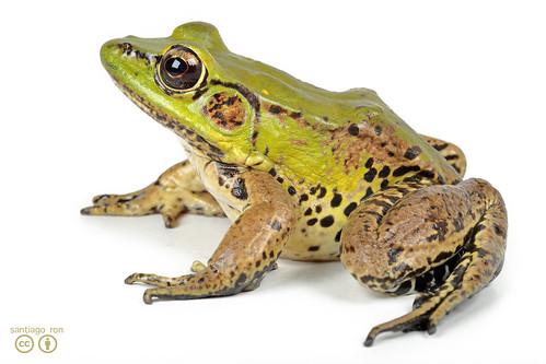 Amazon River Frog