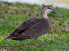 Pacific Black Duck (Anas superciliosa).01 by Geoff Whalan