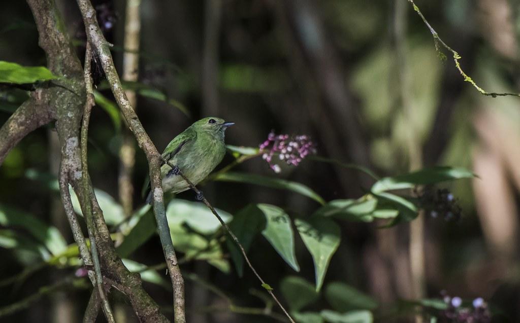 A Green-Colored Manakin
